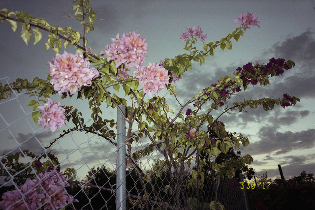 Ivar Wigan, 'Fence with Bougainvillea', 2017, PM/AM