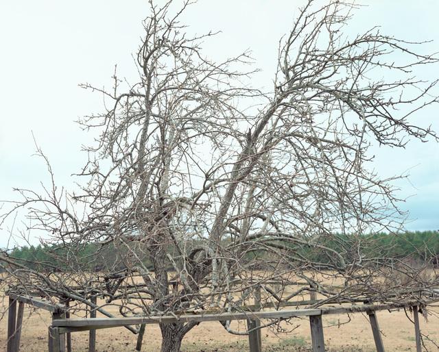 , 'Pear Tree, near Akron, Alabama, January,' 2000, Pace/MacGill Gallery