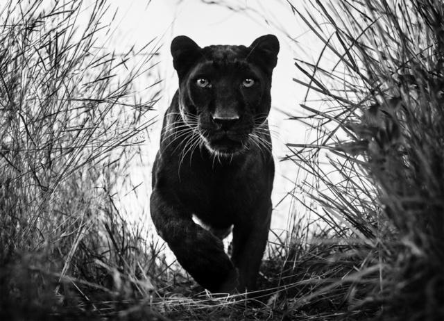 David Yarrow, 'Black Panther', Art Angels
