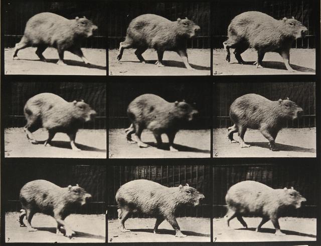 , 'Animal Locomotion: Plate 746 (Capybara Walking),' 1887, Beetles + Huxley