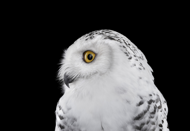 , 'Snowy Owl #2, Los Angeles, CA,' 2015, photo-eye Gallery