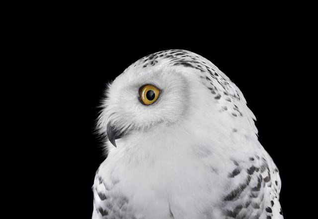 , 'Snowy Owl #2, Los Angeles, CA,' 2015, photo-eye Gallery