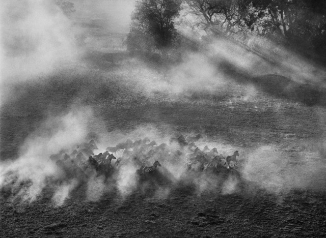 , 'Plains zebra. Okavango Delta, Botswana.,' 2007, Sundaram Tagore Gallery