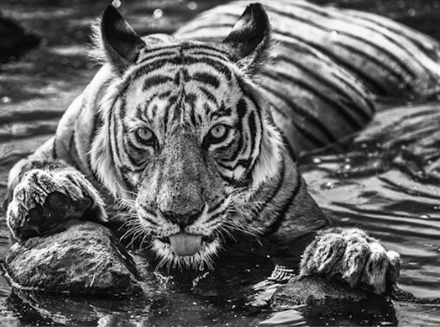 David Yarrow, 'The Queen of Ranthambore', 2018, Photography, Archival Pigment Print, Hilton Asmus