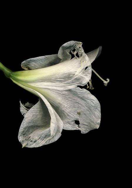 , 'Flowers #3, Untitled (Amarili Old),' 2009, Yancey Richardson Gallery