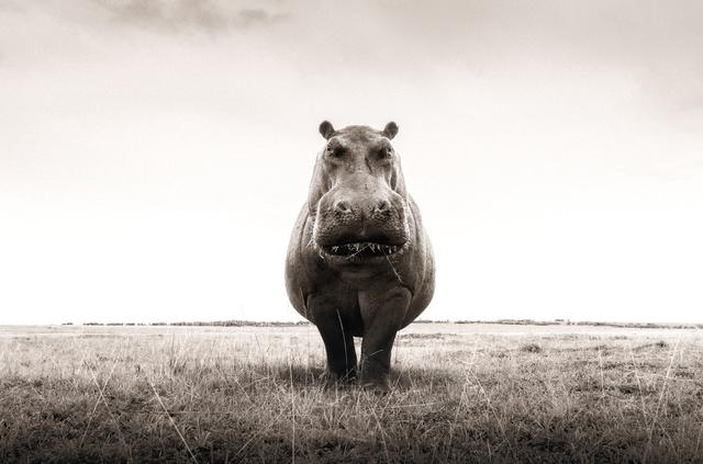 Graeme Purdy, 'One Hippo', 2019, Woolff Gallery