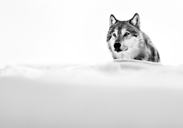 , 'The Focused Wolf,' 2015, Amstel Gallery