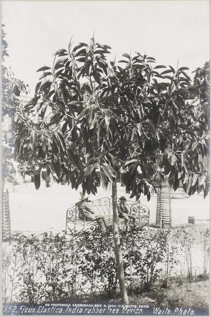 , 'Ficus Elastica (India rubber tree ),' 1905, SERGE PLANTUREUX
