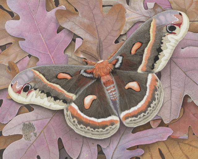Rick Pas, 'Cecropia on Oak', 2015, William Baczek Fine Arts