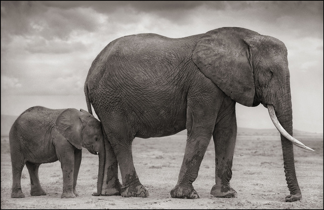 Nick Brandt, 'Elephant Mother & Baby at Leg, Amboseli', 2012, Gilman Contemporary