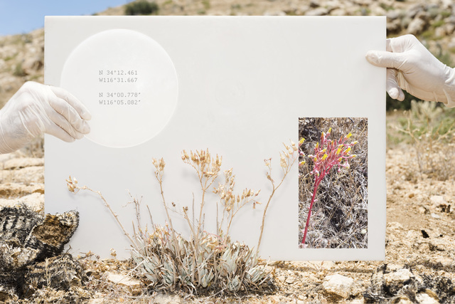 , 'Dudleya Saxosa,' 2017, Joshua Tree Art Gallery