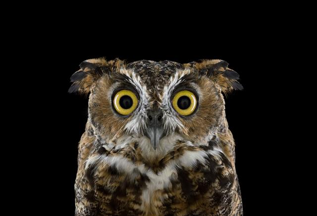 Brad Wilson, 'Great Horned Owl #3, Espanola, NM', 2011, photo-eye Gallery