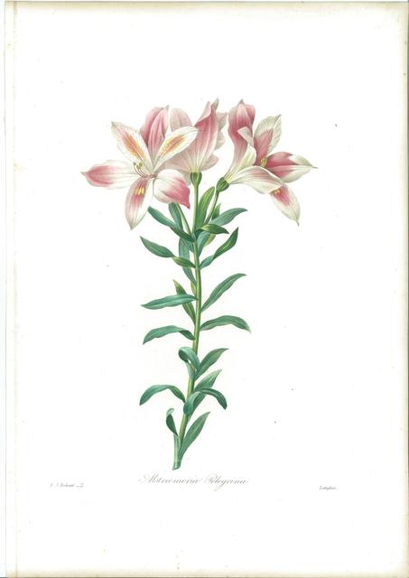 Pierre Joseph Redouté, 'Alstroemeria Pelegrina', 1827, Sylvan Cole Gallery