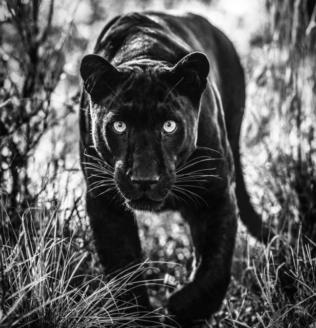 David Yarrow, 'Wakanda', 2019, Hilton Asmus