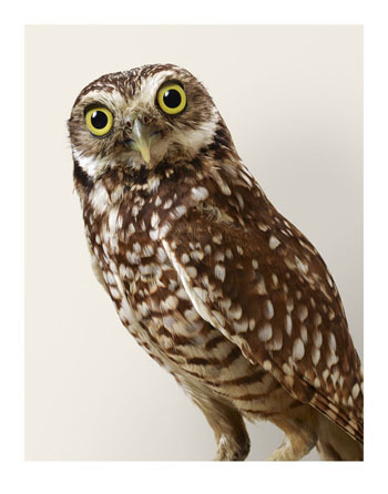 , ''Topper' Burrowing Owl,' 2015, Purdy Hicks Gallery