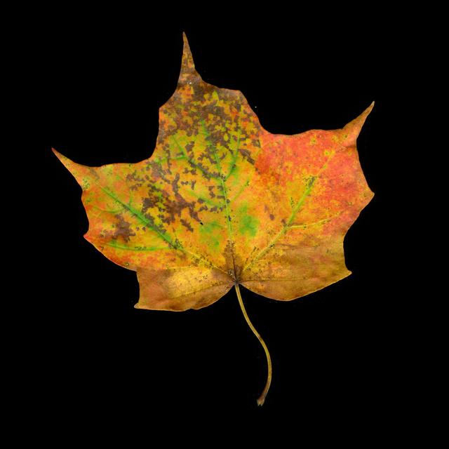 , 'Fall Palette Maple,' 2014, David Richard Gallery