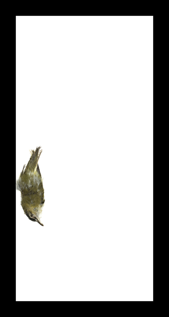 , 'Red-eyed Vireo,' 2017, Corkin Gallery