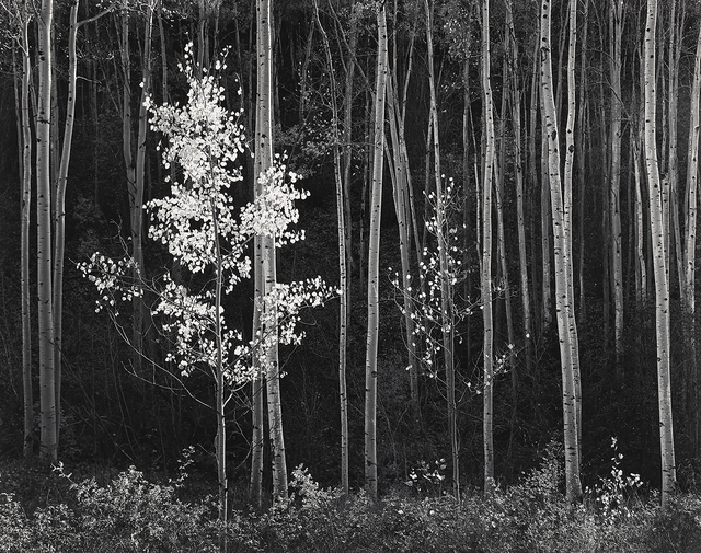 , 'Aspens, Northern New Mexico (Mural),' 1958, The Ansel Adams Gallery