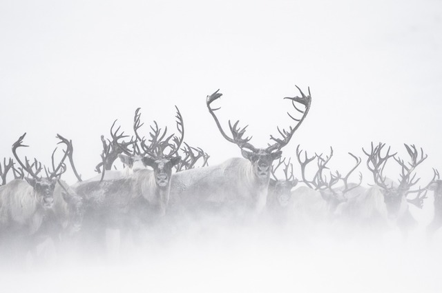 , 'Rennes du Kamtchatka dans la Brume (Reindeer in the Mist),' , Paul Nicklen Gallery