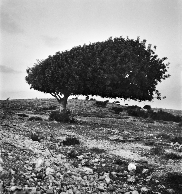 , 'Sycamore Tree, Galil,' 1945, °CLAIR Galerie