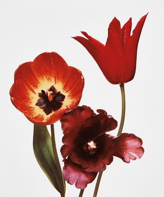 Irving Penn, 'Three Tulips (Red Shine, Black Parrot, Gudoshnik), New York', 1967, Phillips