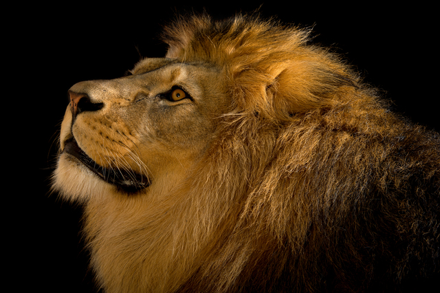Joel Sartore, 'A Barbary lion (Panthera leo leo) at the Plzen Zoo in the Czech Republic', July-2015, Photography, Archival pigment ink on Canson Edition Etching Rag 310gsm., Global Wildlife Conservation