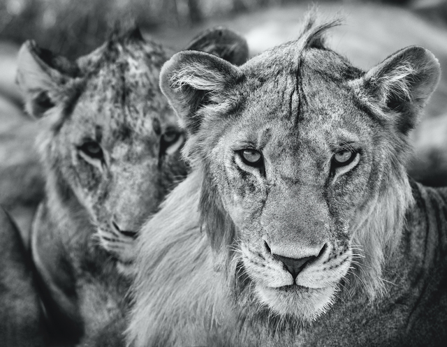 David Yarrow, 'The Boys Are Back In Town ', 2019, Print, Archival Pigment Print, Maddox Gallery