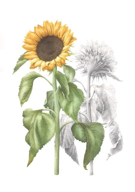 , 'Helianthus annuus - Sunflower,' , Jacaranda Images