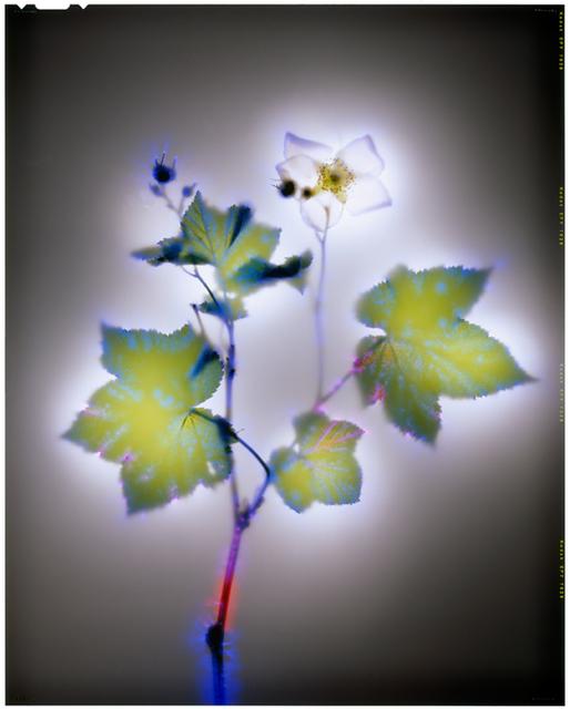 , 'Thimbleberry,' , Melissa Morgan Fine Art