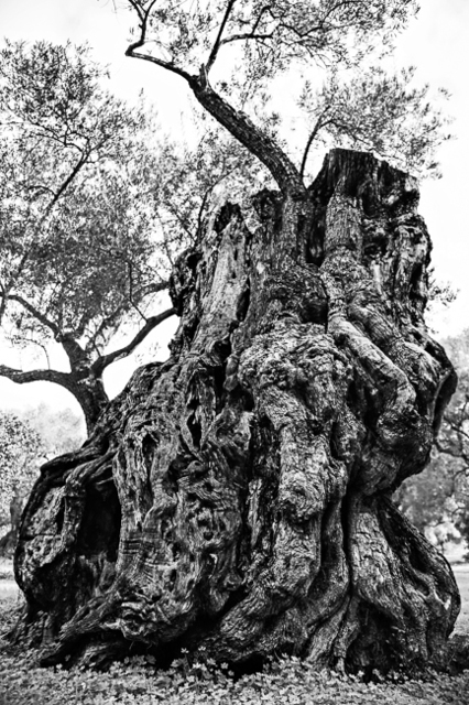 , 'Centenarian olive tree II / Olivo centenario ,' 2015, Jacaranda Images