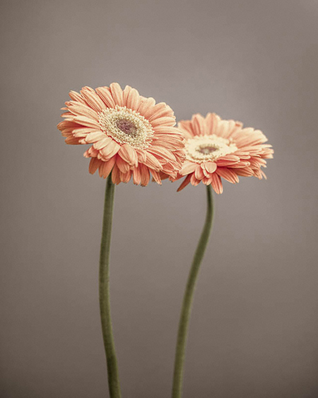 , 'Two Gerbera,' 2014, Weston Gallery