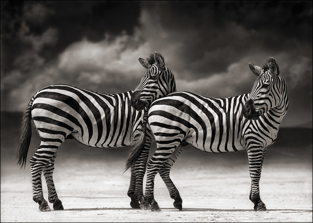 , 'Portrait of two Zebras turning heads, Ngorongoro Crater,' 2005, Atlas Gallery