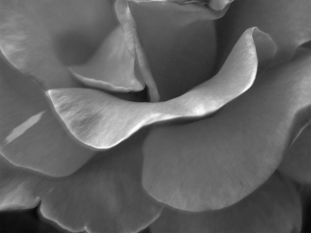 , 'Rose II,' ca. 2005, Mac-Gryder Gallery