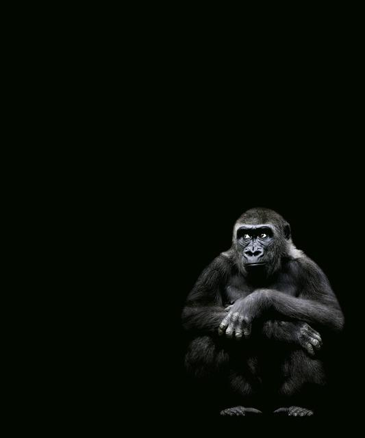 , 'Western Lowland Gorilla Squatting,' 2008, Ricco/Maresca Gallery