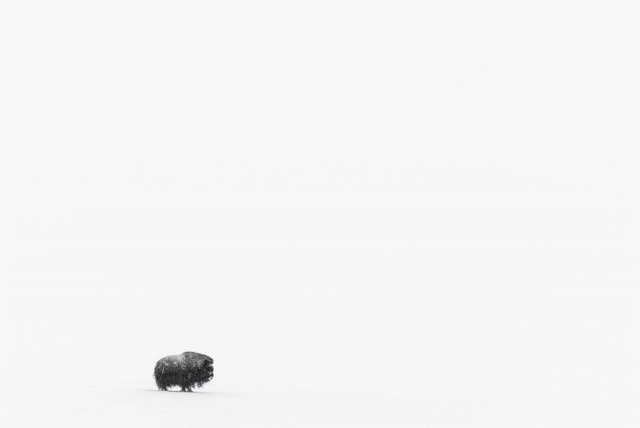 , 'Boeuf Musqué Solitaire (Lone Muskox),' , Paul Nicklen Gallery