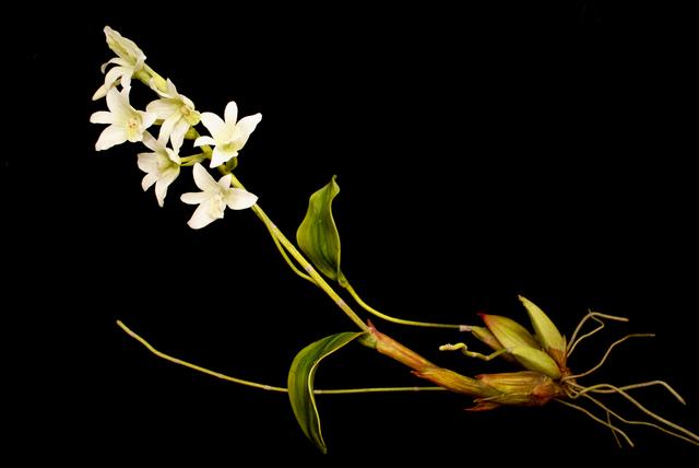 , 'END74 Pholidota sigmatochilus,' 2015, Chan + Hori Contemporary