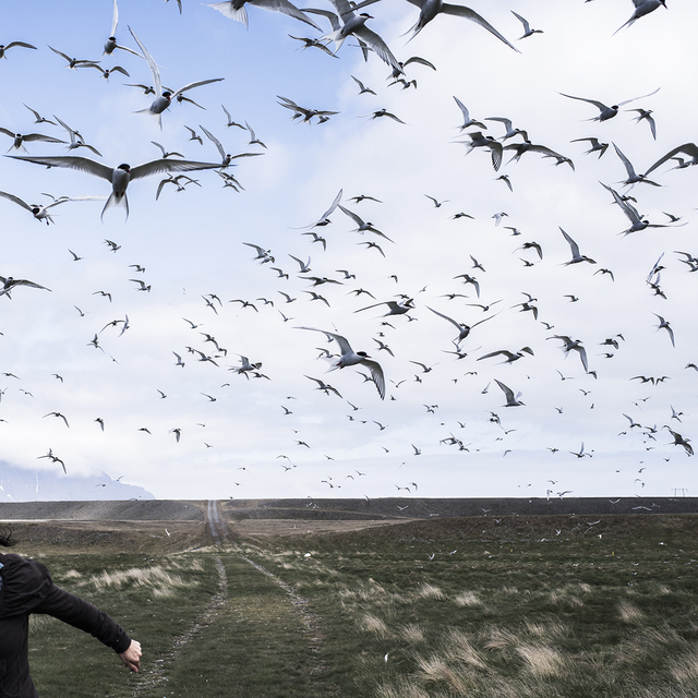 , 'The Judgement of Terns, Iceland,' , Dowling Walsh