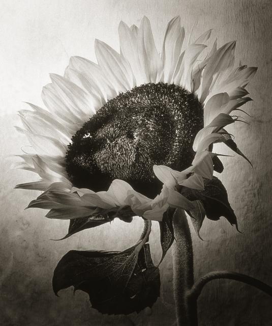 , 'Sunflower I,' , Gallery 270
