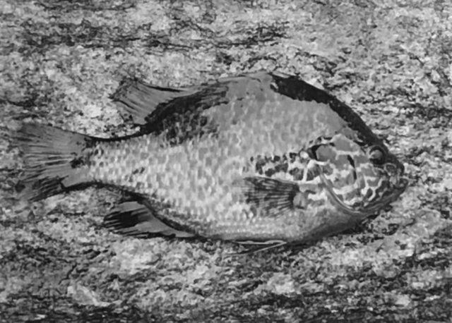 , 'Sunfish, Concord, MA,' 1961, Obscura Gallery
