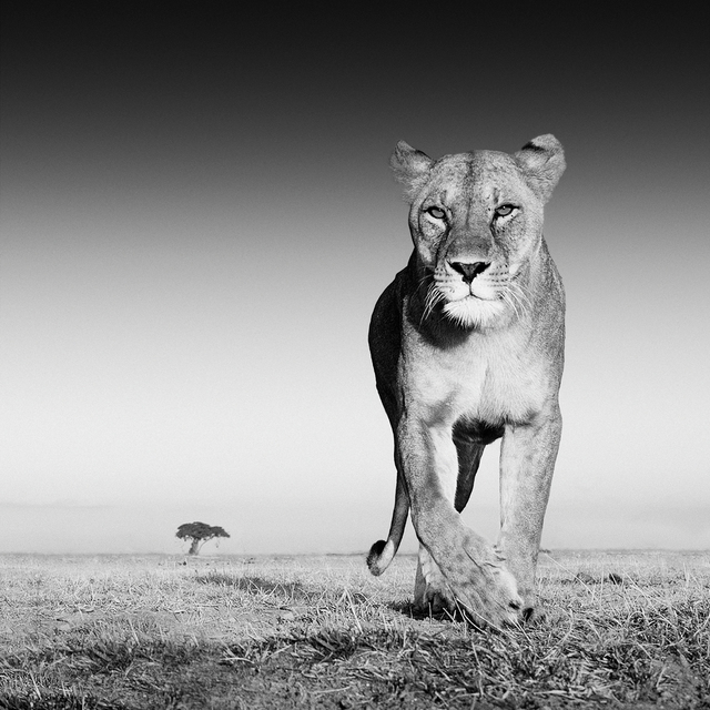 , 'The Prize, Amboseli, Kenya,' 2013, Holden Luntz Gallery