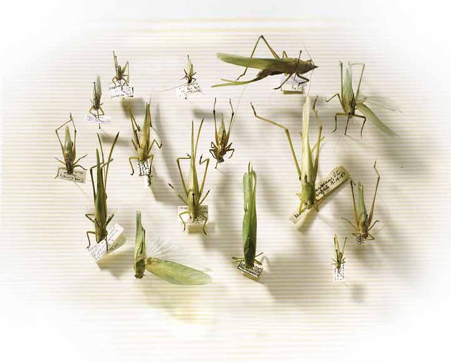 Laurie Rubin, 'Grasshoppers', Chicago Art Source