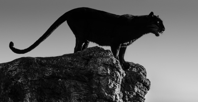 David Yarrow, 'Black cat', 2019, Galleri Fineart