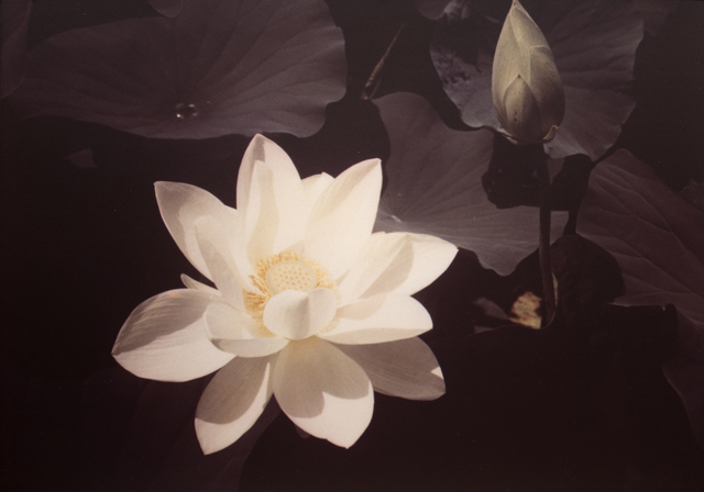 , 'White Lotus,' ca. 1940, Bruce Silverstein Gallery