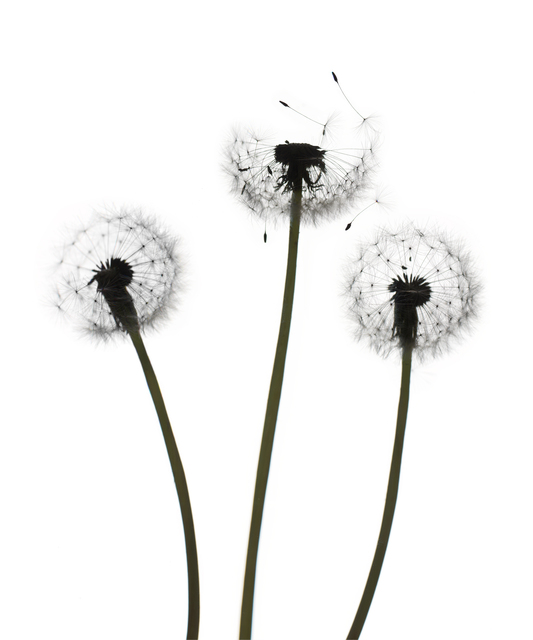 , 'Untitled Flower - Number 147 (White),' 2018, Carrie Haddad Gallery