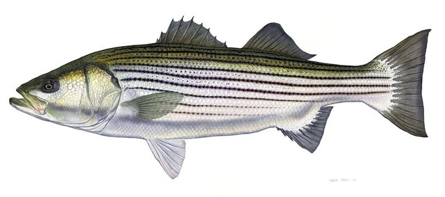 Flick Ford, 'Trophy Striped Bass', 2014, Quidley & Company