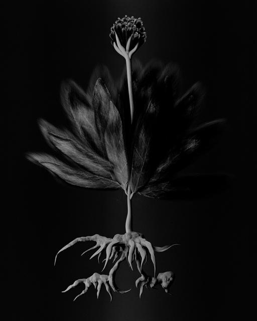 , 'Voynich Botanical Studies, Specimen 55v Zima,' 2016, Koenig & Clinton