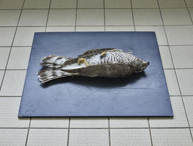 , 'Habicht (Accipiter gentilis), Leibniz IZW, Berlin 2016,' , Galerie Greta Meert