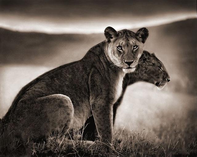 , 'Sitting Lionesses, Serengeti,' 2002, Atlas Gallery