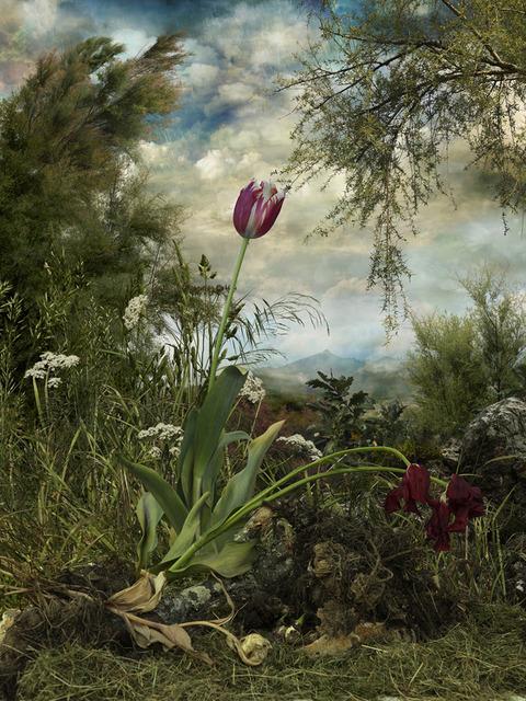 , 'Semper Augustus,' 2009, Trinta
