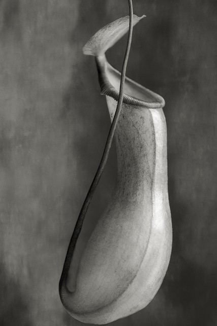 , 'Nepenthes Ventricosa,' , photo-eye Gallery